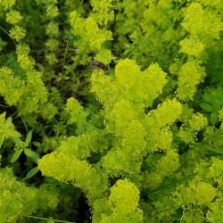 Galium verum Semences du Puy