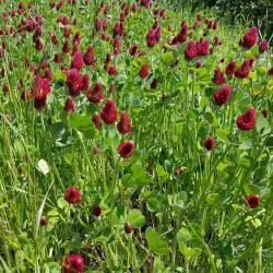 Trifolium incarnatum Semences du Puy