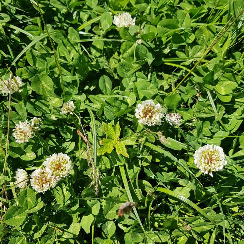 Trifolium repens Semences du Puy