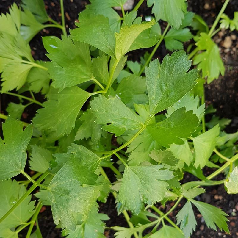 Apium graveolens secalinum Semences du Puy