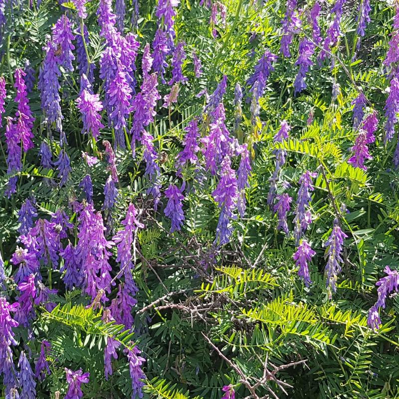 Vicia villosa Semences du Puy