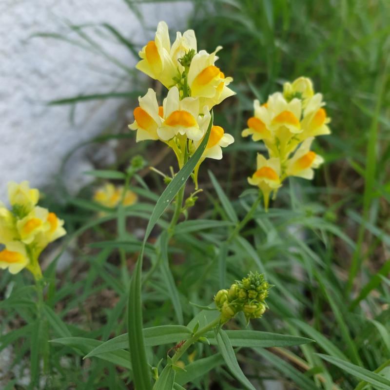 Linaria vulgaris Semences du Puy