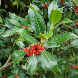Ilex aquifolium Semences du Puy