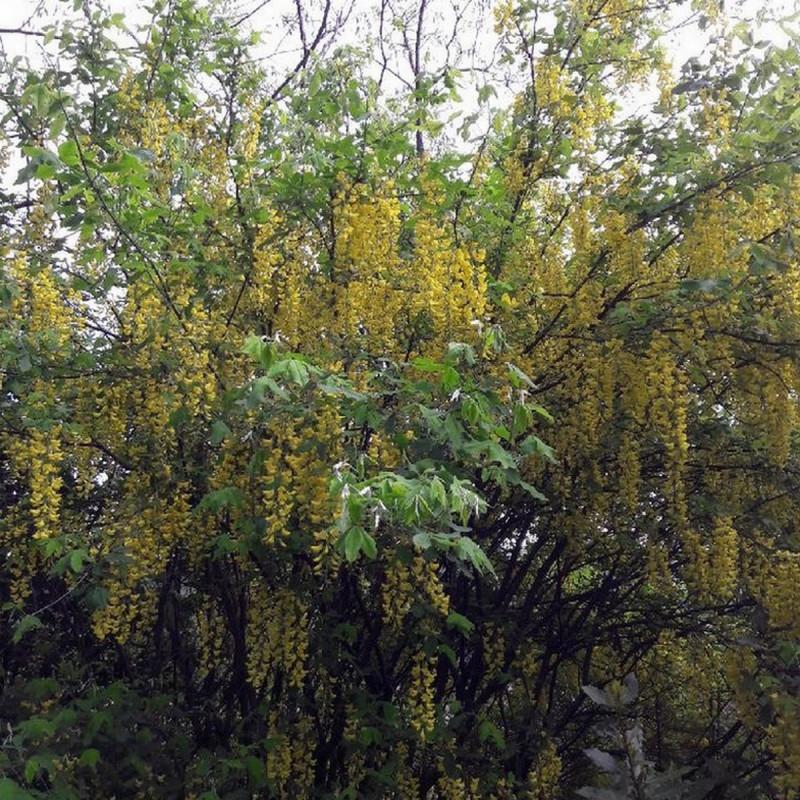 Laburnum anagyroides Semences du Puy)