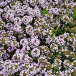 Thymus serpyllum Semences du Puy
