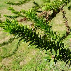 Araucaria araucana Semences du Puy
