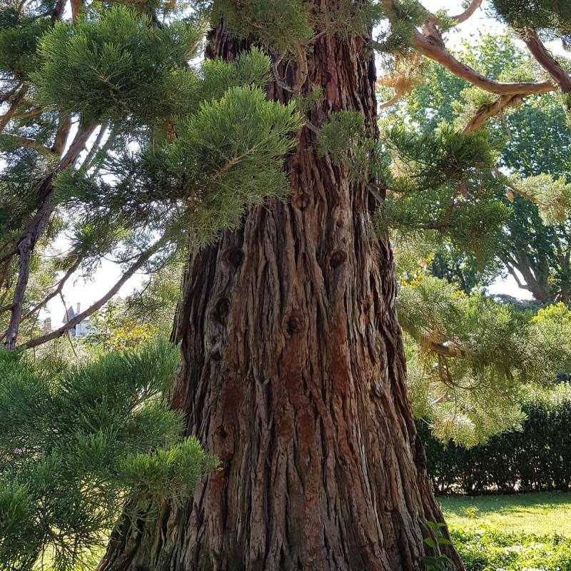 Sequoidendron giganteum Semences du Puy