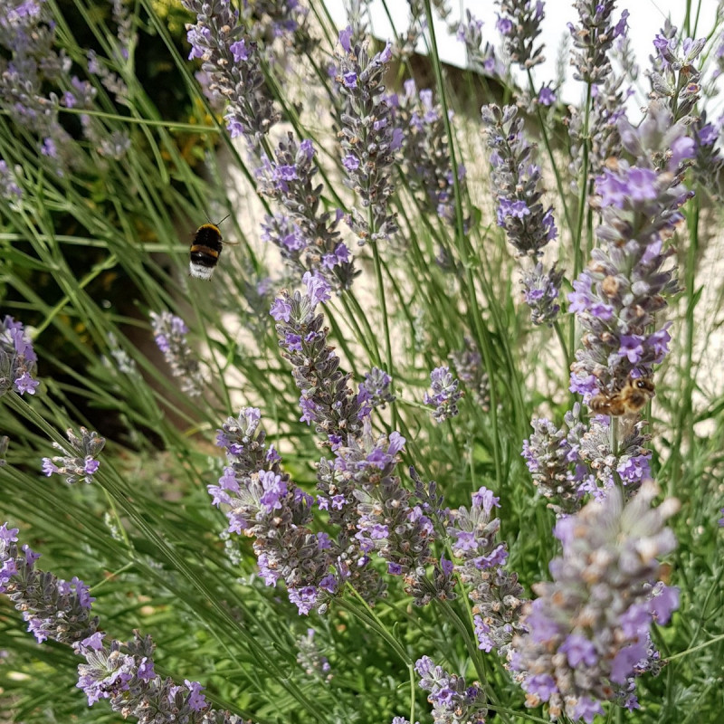 Lavandula angustifolia Semences du Puy
