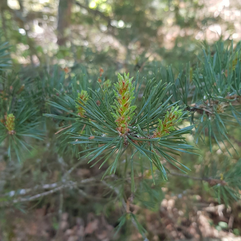 Pinus sylvestris Semences du Puy