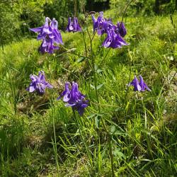 Aquilegia vulgaris Semences du Puy