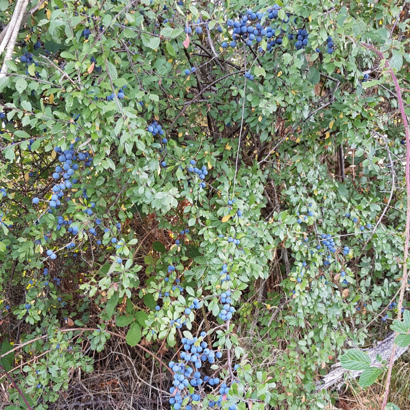Prunus spinosa Semences du Puy