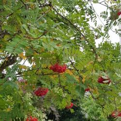 Sorbus aucuparia Semences du Puy