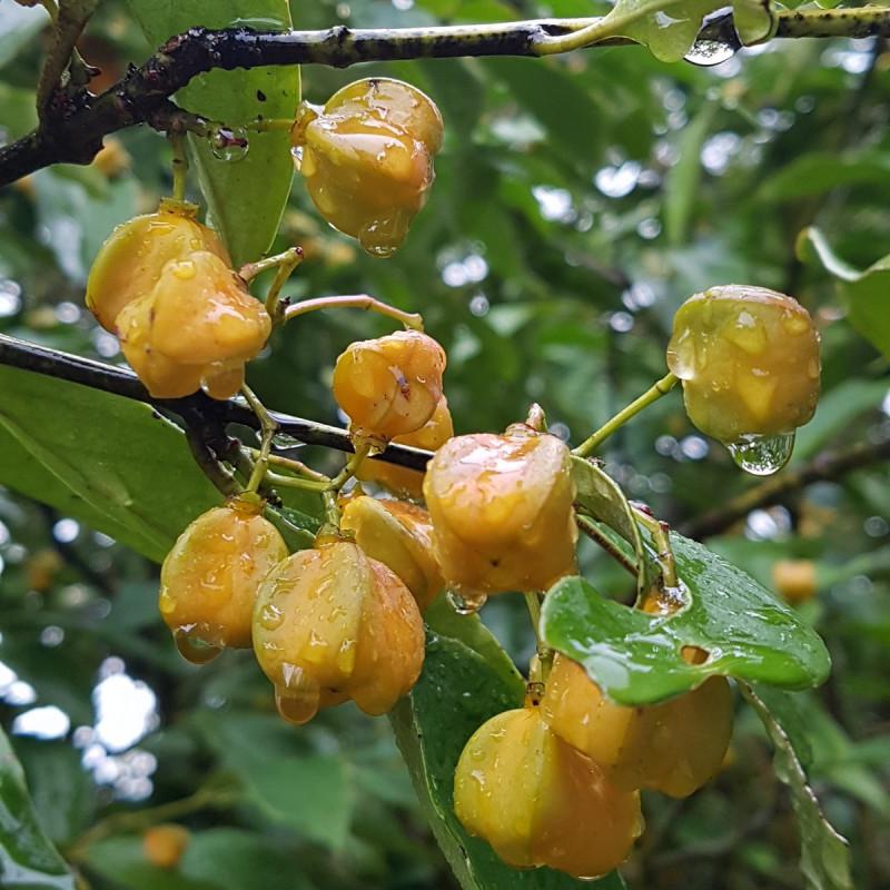 Euonymus myrianthus Semences du Puy