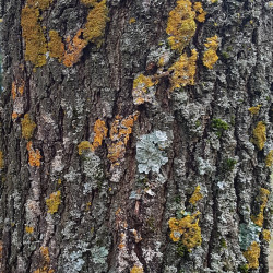 Quercus frainetto Semences du Puy
