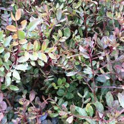 Pistacia lentiscus Semences du Puy