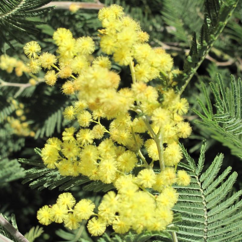 Mimosa vert