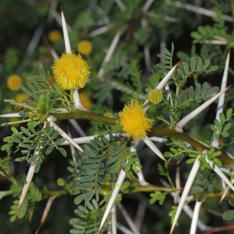 Mimosa odorant par Alexey Yakovlev de Wikimedia commons