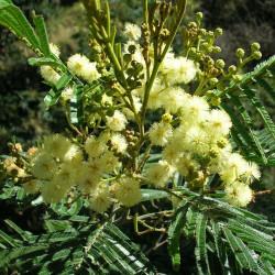 Mimosa argenté de Wikimedia commons