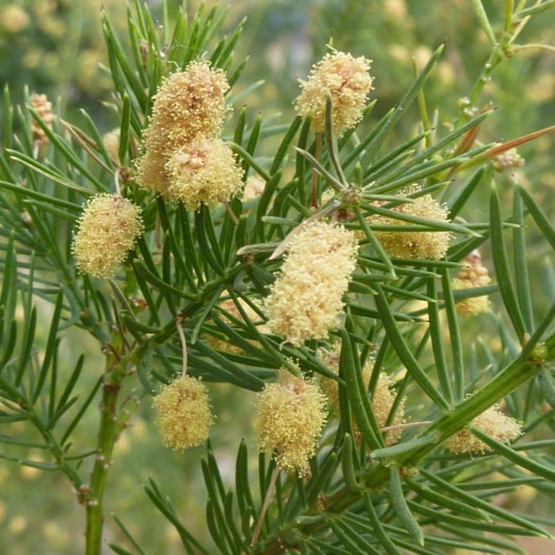 Acacia verticillata par Magnus Manske de Wikimedia commons