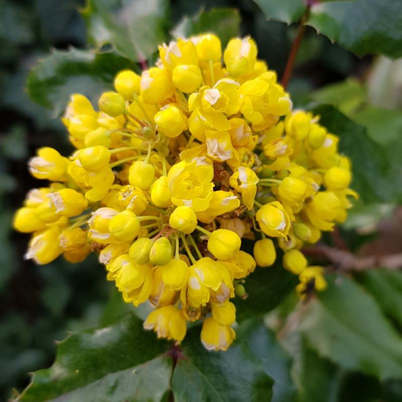 Mahonia aquifolium Semences du Puy