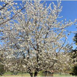 Prunus avium Semences du Puy