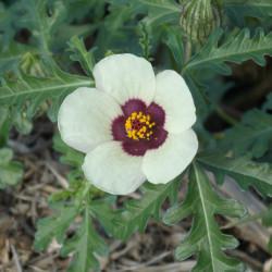 Hibiscus trionum par Jo Rosenberry de Pixabay