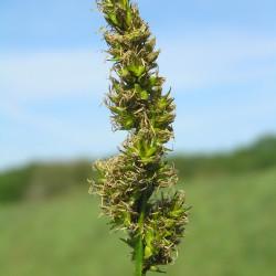 Carex vulpina de Petr Filippov, CC BY-SA 3.0, via Wikimedia Commons