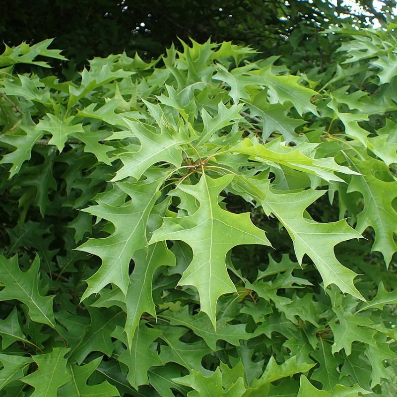 Quercus texana de Krzysztof Ziarnek, Kenraiz, CC BY-SA 4.0, via Wikimedia Commons