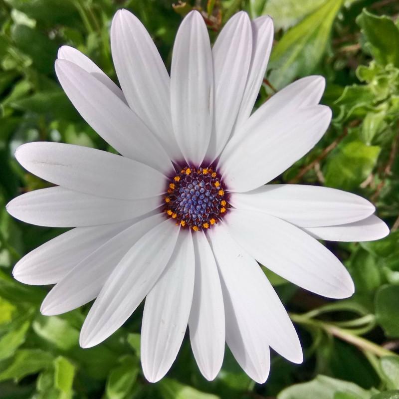 Osteospermum ecklonis par Sylvia Anders de Pixabay