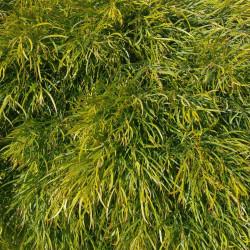 Acacia cognata par ktdragonchild de Pixabay
