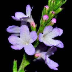 Verbena officinalis par FRANCO PATRIZIA de Pixabay