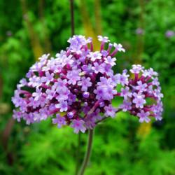Verbena bonariensis par flomo001 de Pixabay