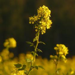 Brassica napus par Hans Braxmeier de Pixabay