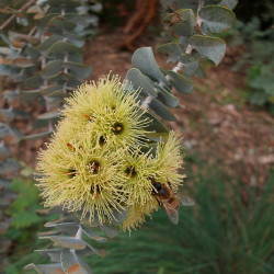 Eucalyptus kruseana de Bidgee, CC BY-SA 3.0 via Wikimedia Commons