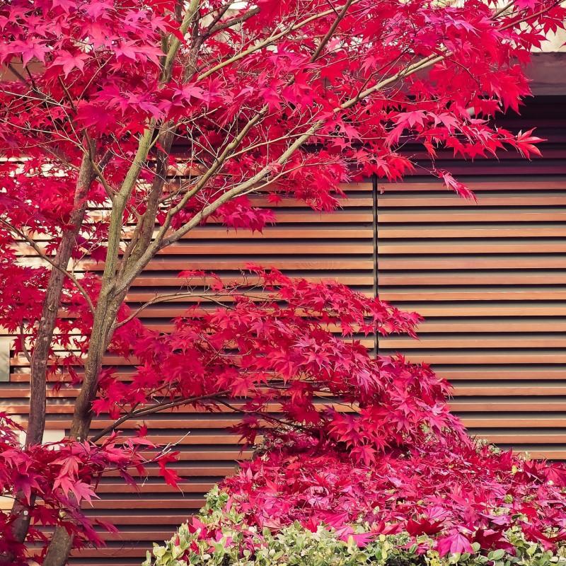 Acer palmatum atro. par Hin und wieder gibts mal was. de Pixabay