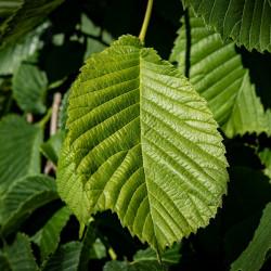 ulmus parvifolia  par Pezibear de Pixabay