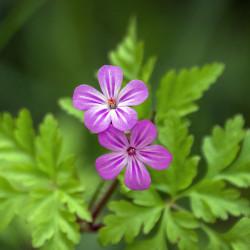 Geranium robertianum par Ian Lindsay de Pixabay