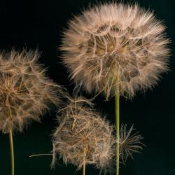 Tragopogon pratensis par andreas N de Pixabay