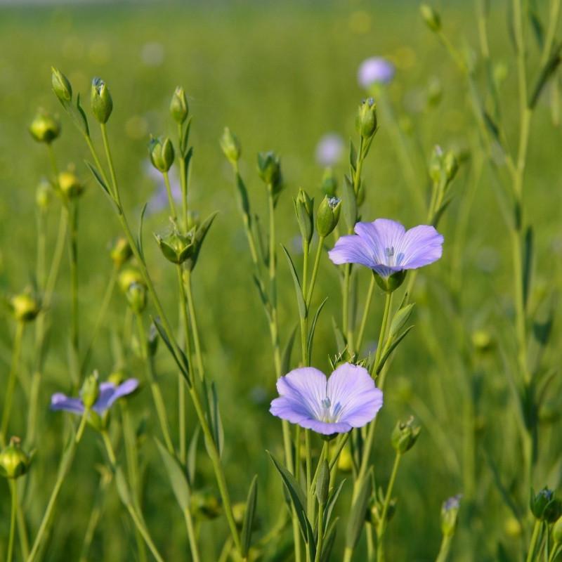 Linum cultivé par xuechao zhu de Pixabay