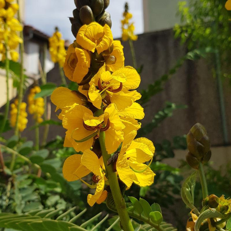 Cassia didymobotrya Semences du Puy