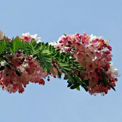 Cassia javanica par Bishnu Sarangi de Pixabay