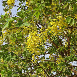 Cassia fistula par Bishnu Sarangi de Pixabay.