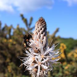 Asphodelus albus par Julien Wilhelm de Pixabay