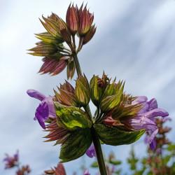 Salvia officinalis par J Wberg de Pixabay