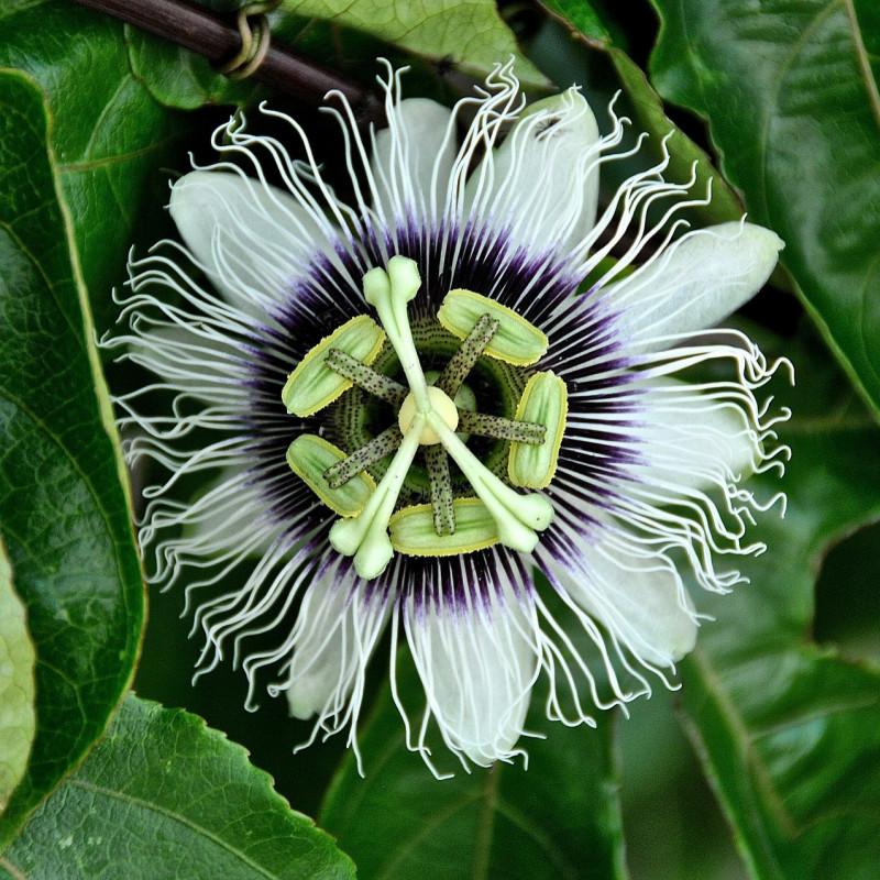 Passiflora edulis par Javier Redondo Gutierrez de Pixabay