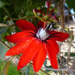 Passiflora coccinea par picman2 de Pixabay