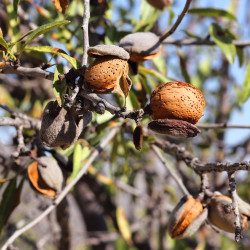 Prunus amygdalus var dulcis par Josevi Parra de Pixabay .