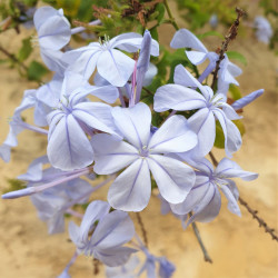 Plumbago capensis Semences du Puy