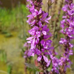 Lythrum salicaria Semences du Puy