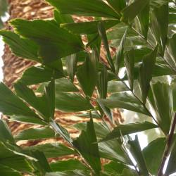 Caryota mitis par Hans Braxmeier de Pixabay